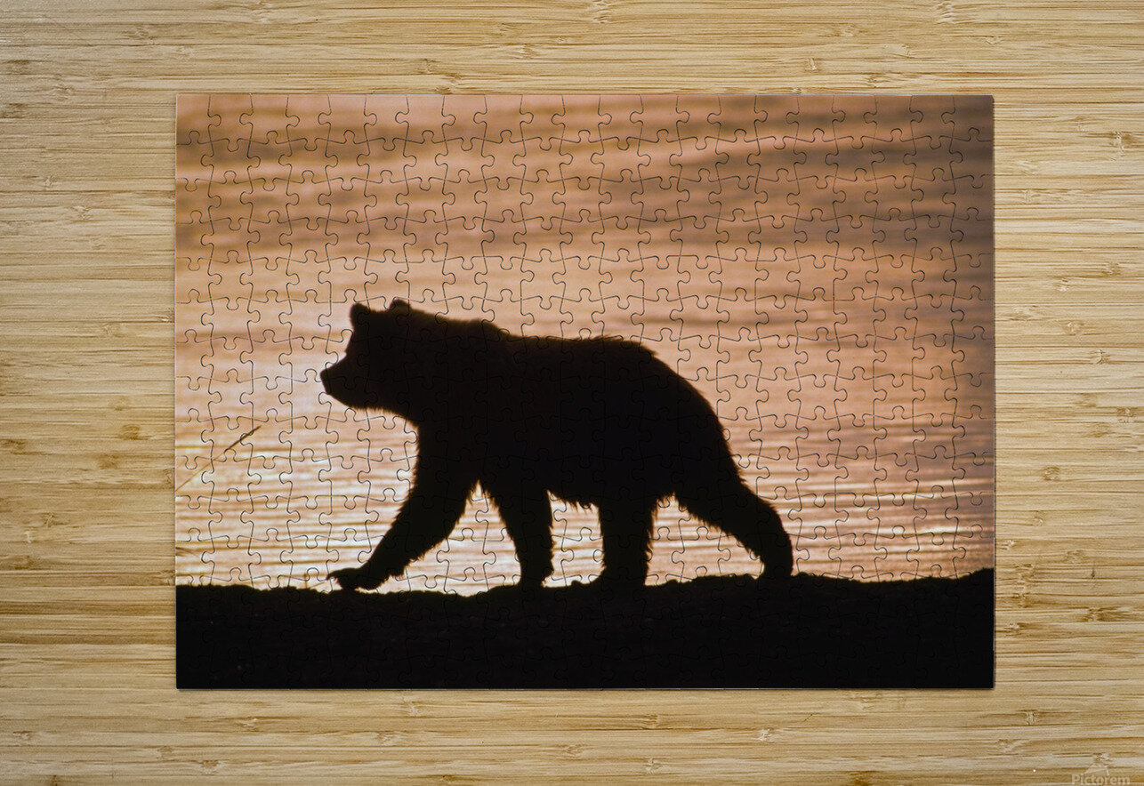 Young Grizzly Bear (Ursus Arctos) Walks Along Edge Of Lake At Sunset  HD Metal print with Floating Frame on Back