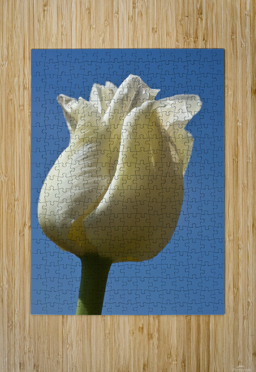 A White Tulip Against A Blue Sky; Northumberland, England  HD Metal print with Floating Frame on Back