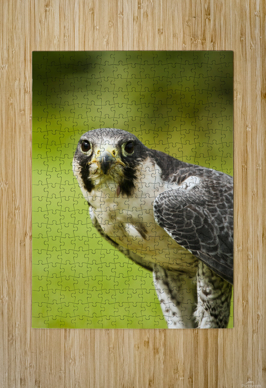 Peregrine Falcon (Falco Peregrinus); Windermere, Cumbria, England  HD Metal print with Floating Frame on Back