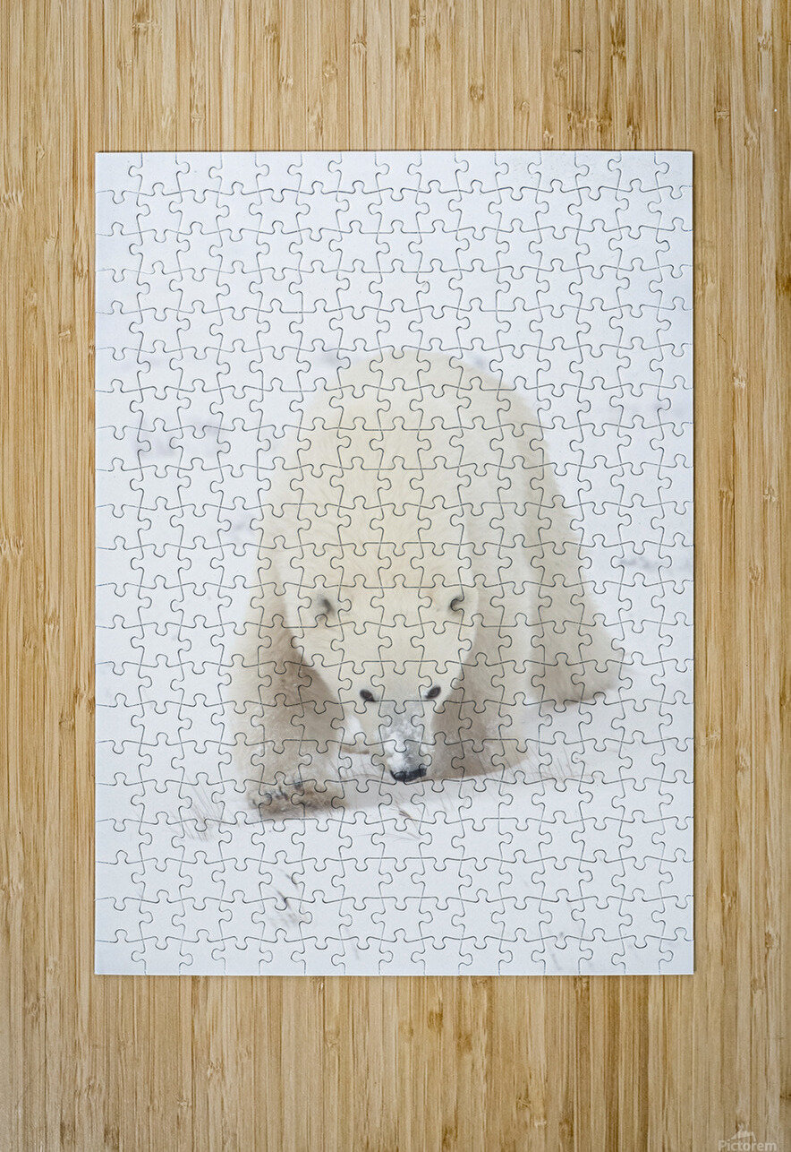 Curious Young Polar Bear (Ursus Maritimus) Exploring; Churchill, Manitoba, Canada  HD Metal print with Floating Frame on Back