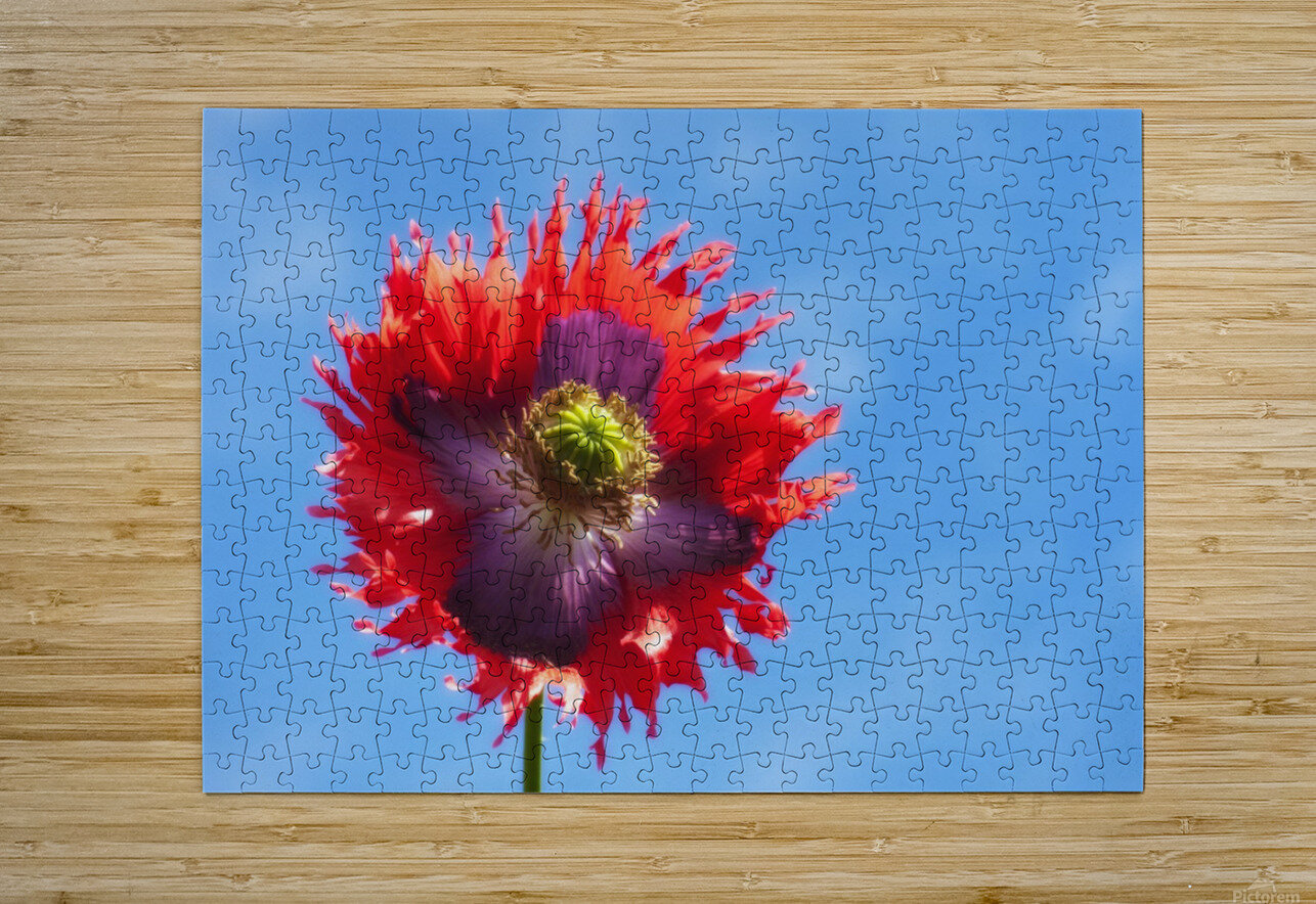 A Colorful Flower With Red And Purple Petals Against A Blue Sky; Northumberland, England  HD Metal print with Floating Frame on Back