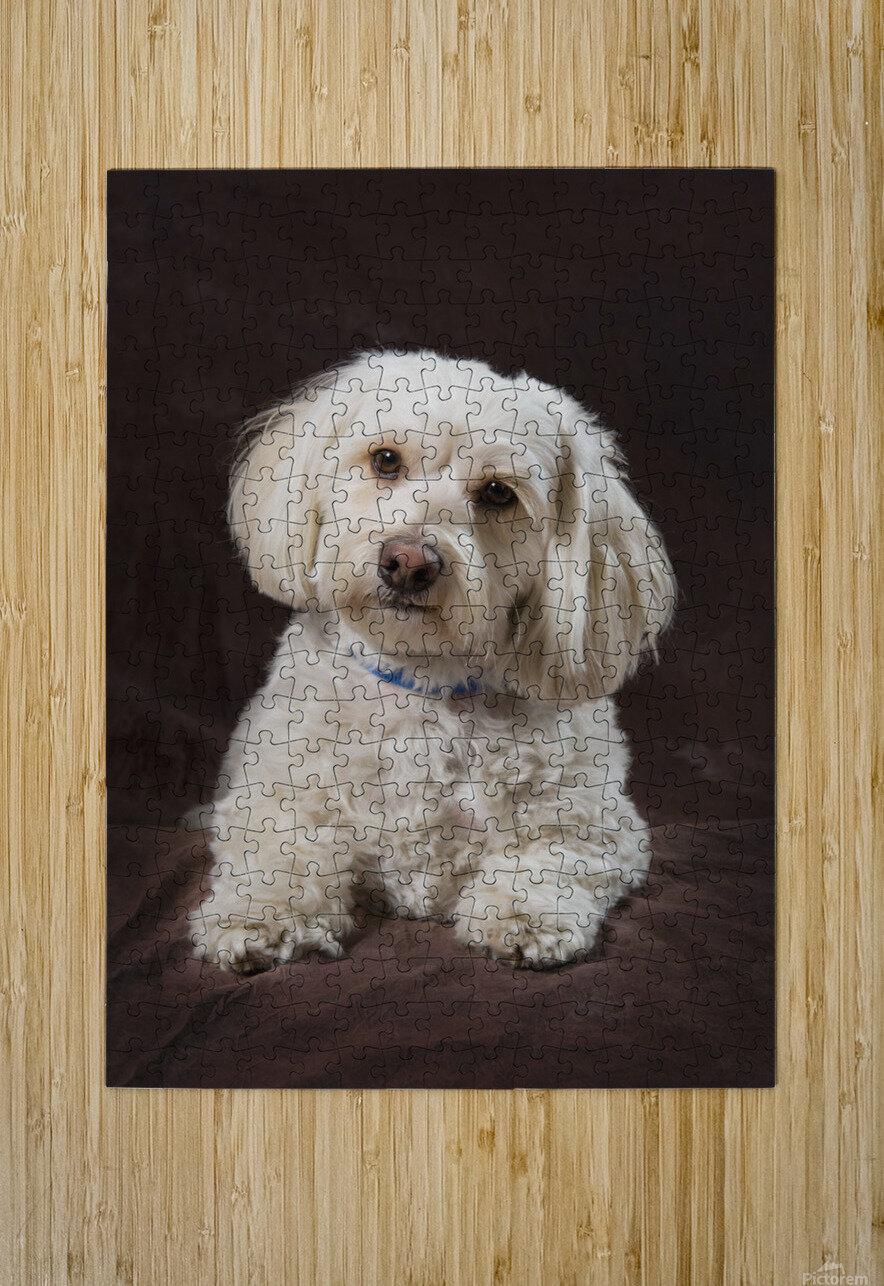 Shih Tzu-Poodle On A Brown Muslin Backdrop  HD Metal print with Floating Frame on Back