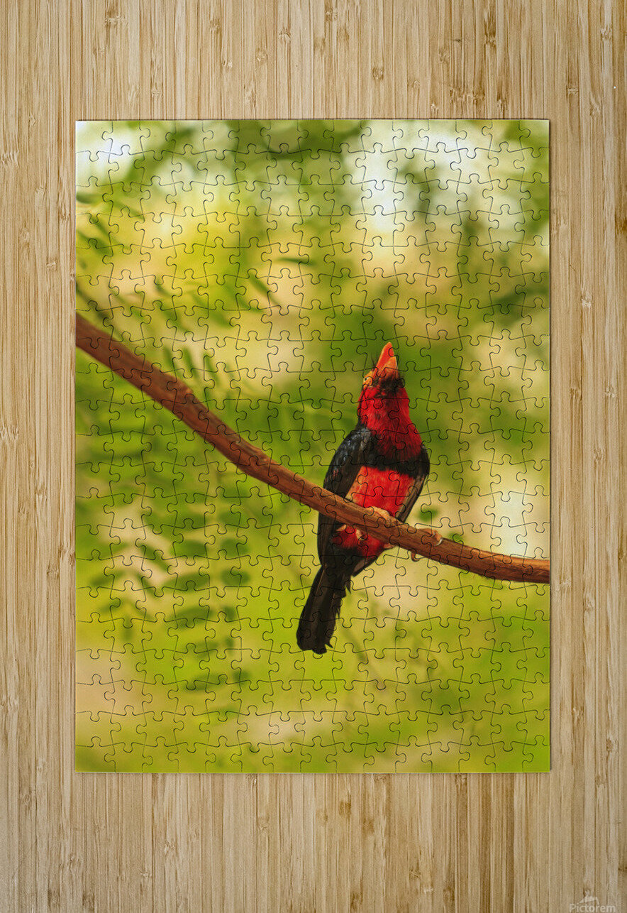 Bearded Barbet (Lybius Dubius) At San Diego Wild Animal Park Near Escondido; California, United States of America  HD Metal print with Floating Frame on Back