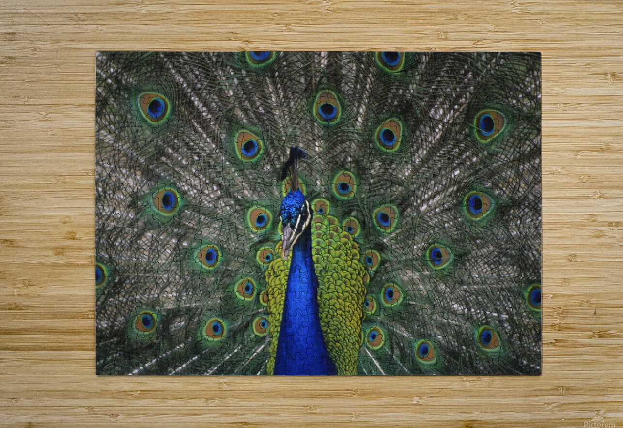 Peacock In Open Feathers, Victoria, Bc Canada  HD Metal print with Floating Frame on Back