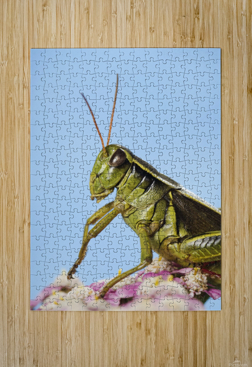 Grasshopper Close-Up.  HD Metal print with Floating Frame on Back