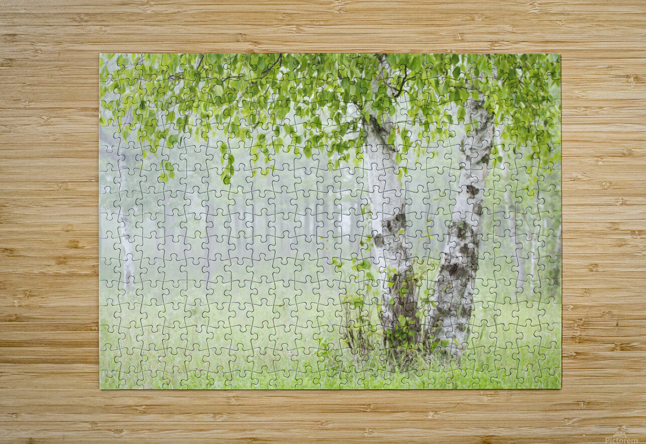 Birch trees in fog;Thunder bay ontario canada  HD Metal print with Floating Frame on Back