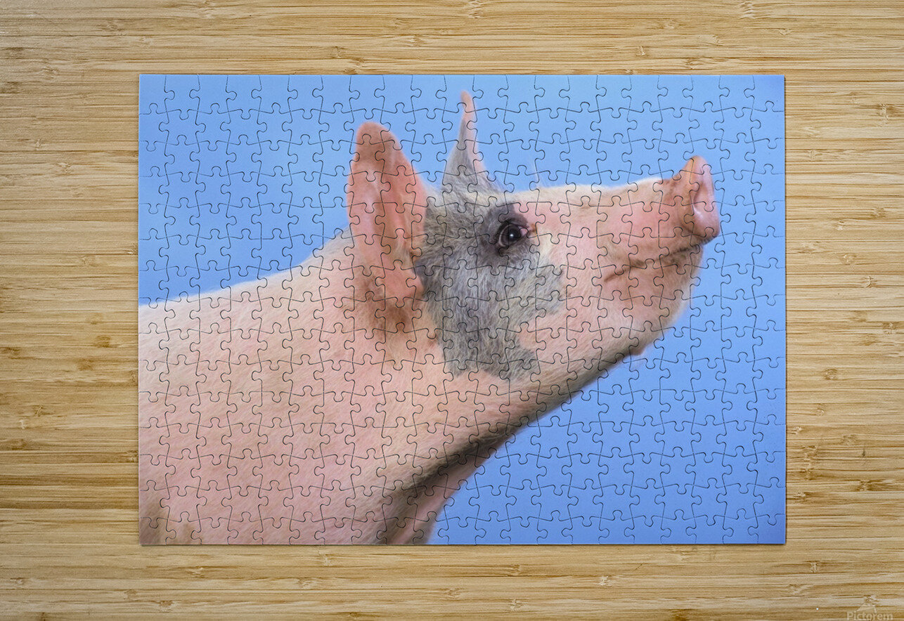 Pig with a blue background;British columbia canada  HD Metal print with Floating Frame on Back