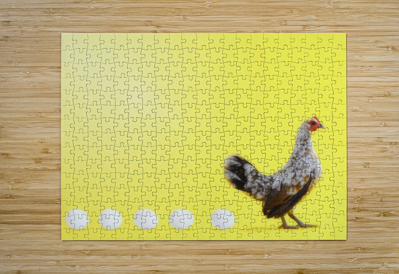 Hen standing in line with five eggs;British columbia canada  HD Metal print with Floating Frame on Back
