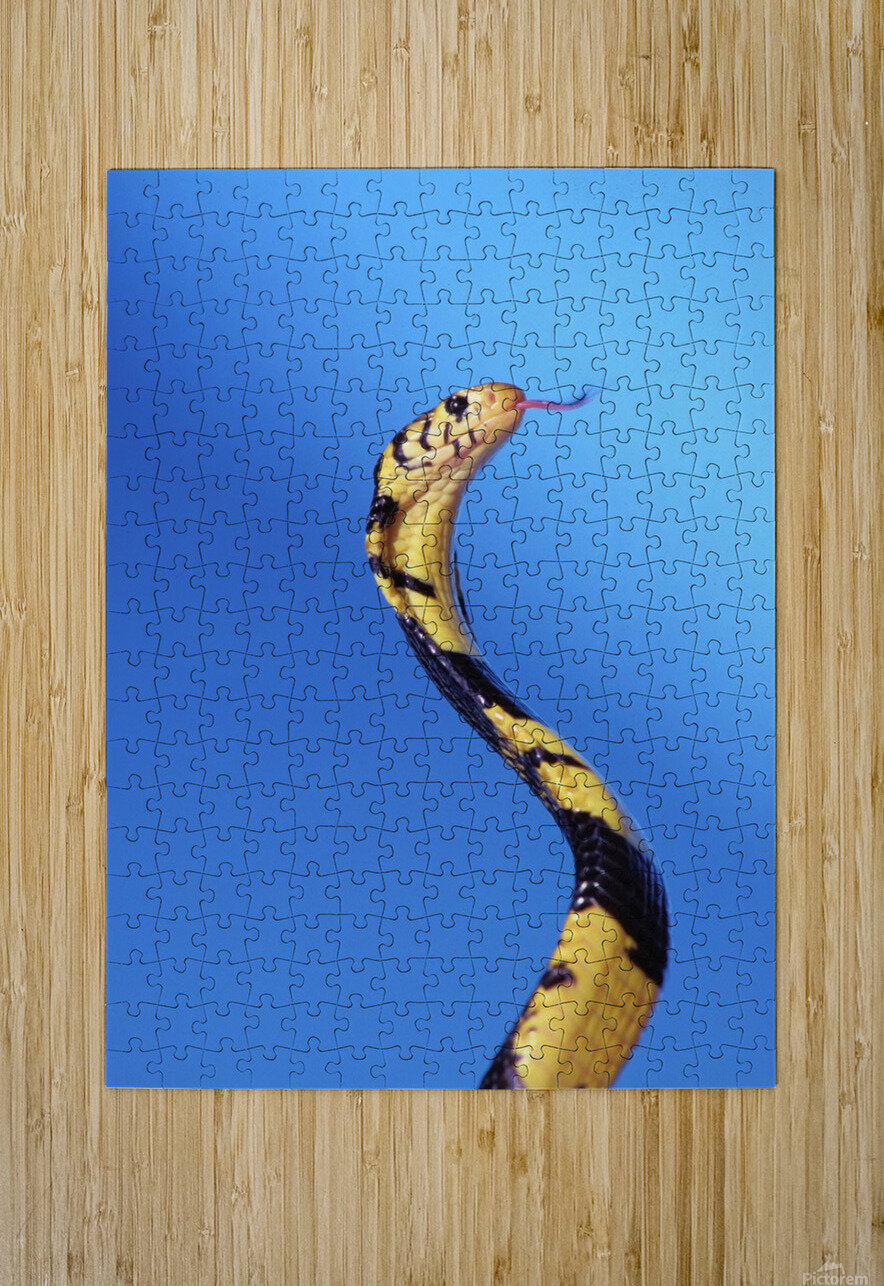 Forest cobra (naja melanoleuca) against a blue background;British columbia canada  HD Metal print with Floating Frame on Back