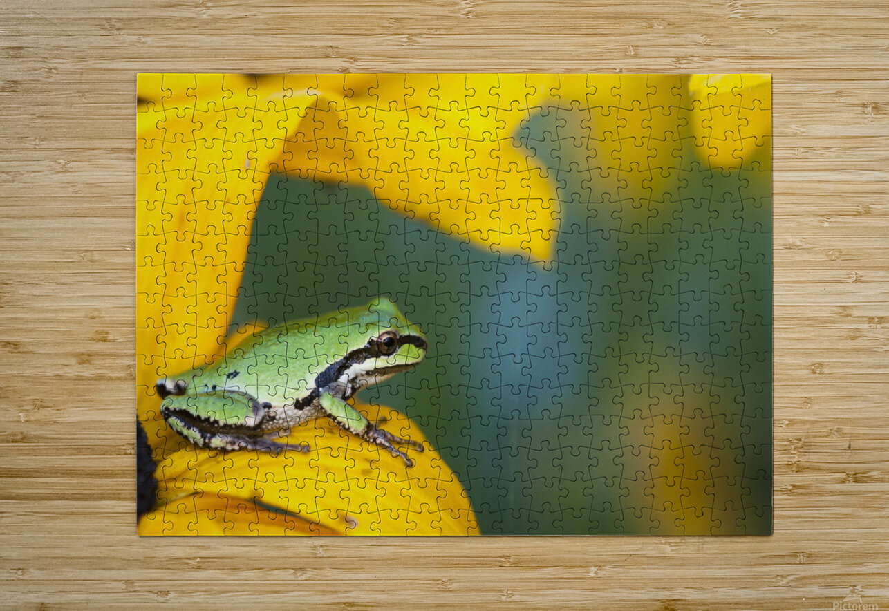 A Pacific Tree Frog (Pseudacris Regilla) Hunts For Insects On A Rudbeckia Blossom; Astoria, Oregon, United States Of America  HD Metal print with Floating Frame on Back