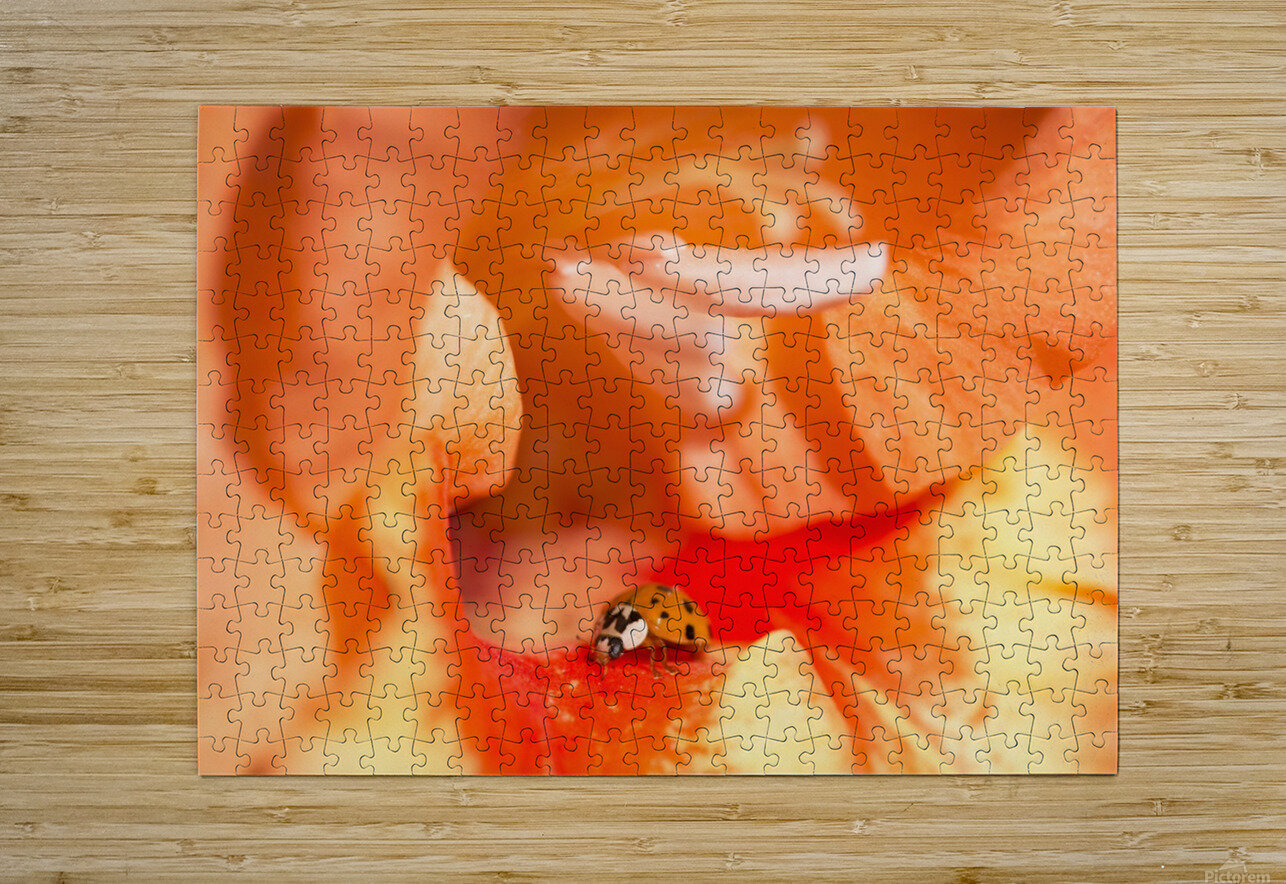 A Ladybug Beetle Searches For Prey In A Gladiolus Blossom; Astoria, Oregon, United States Of America  HD Metal print with Floating Frame on Back