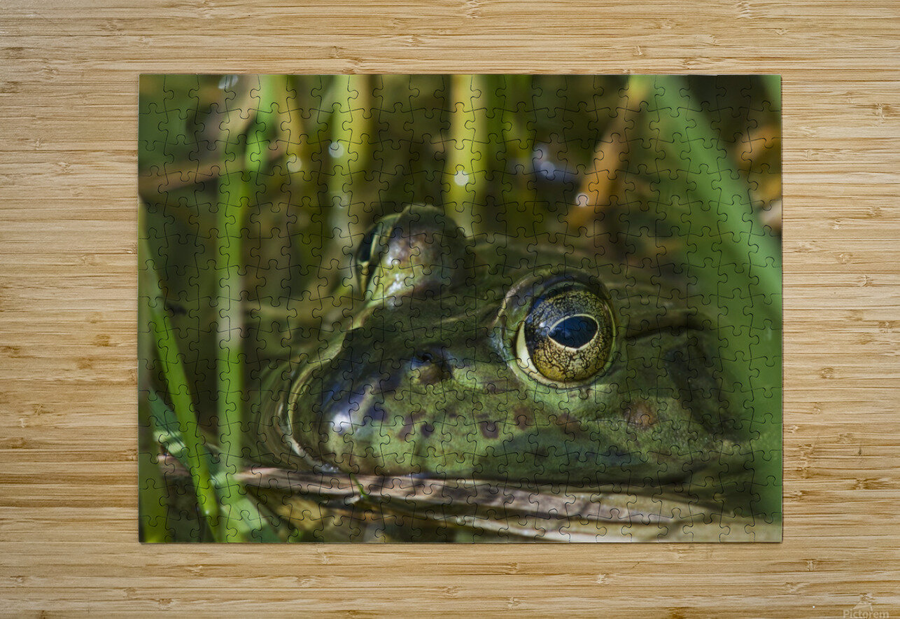 A bullfrog (Lithobates catesbeianus) rests in a pond; Astoria, Oregon, United States of America  HD Metal print with Floating Frame on Back