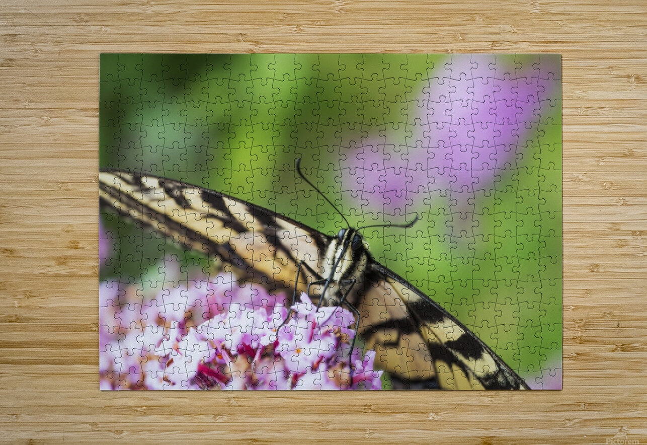 A swallowtail butterfly seeks nectar on a butterfly bush; Astoria, Oregon, United States of America  HD Metal print with Floating Frame on Back