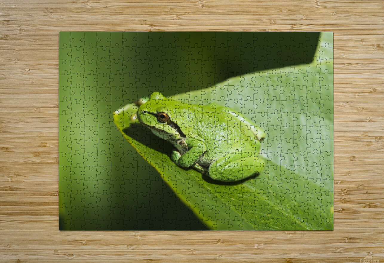 A Pacific Tree Frog (Pseudacris regilla) rests on a Wapato Leaf; Astoria, Oregon, United States of America  HD Metal print with Floating Frame on Back