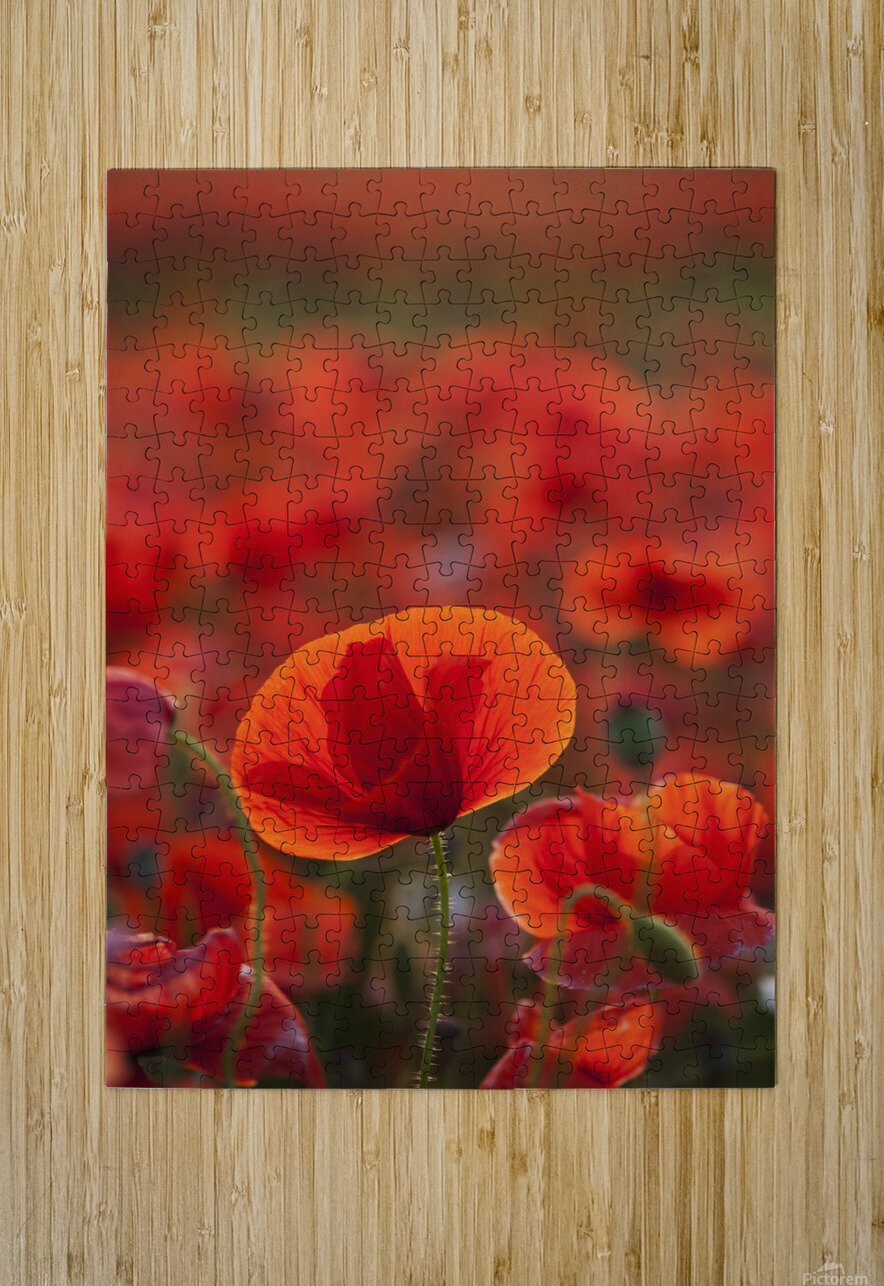 Common Poppy (Papaver rhoeas) covering an arable field; North Yorkshire, England  HD Metal print with Floating Frame on Back