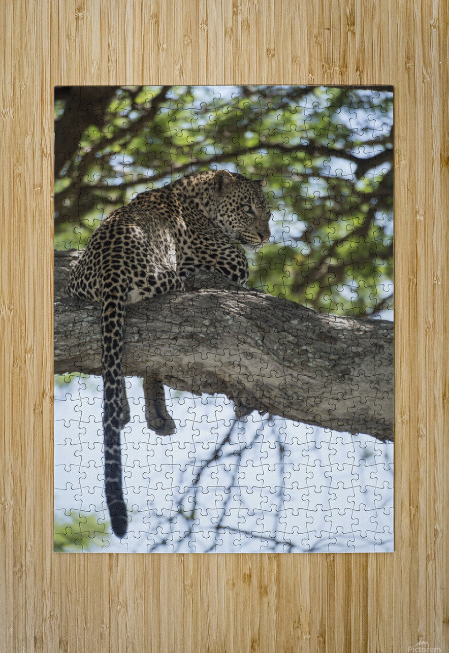 Leopard resting in tree near Ndutu, Ngorongoro Crater Conservation Area; Tanzania  HD Metal print with Floating Frame on Back