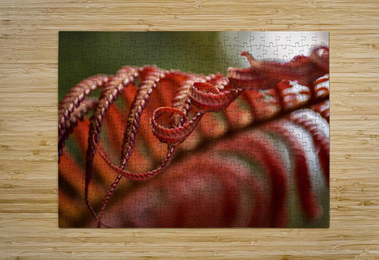 Close up of a crimson Amau fern; Hawaii, United States of America  HD Metal print with Floating Frame on Back