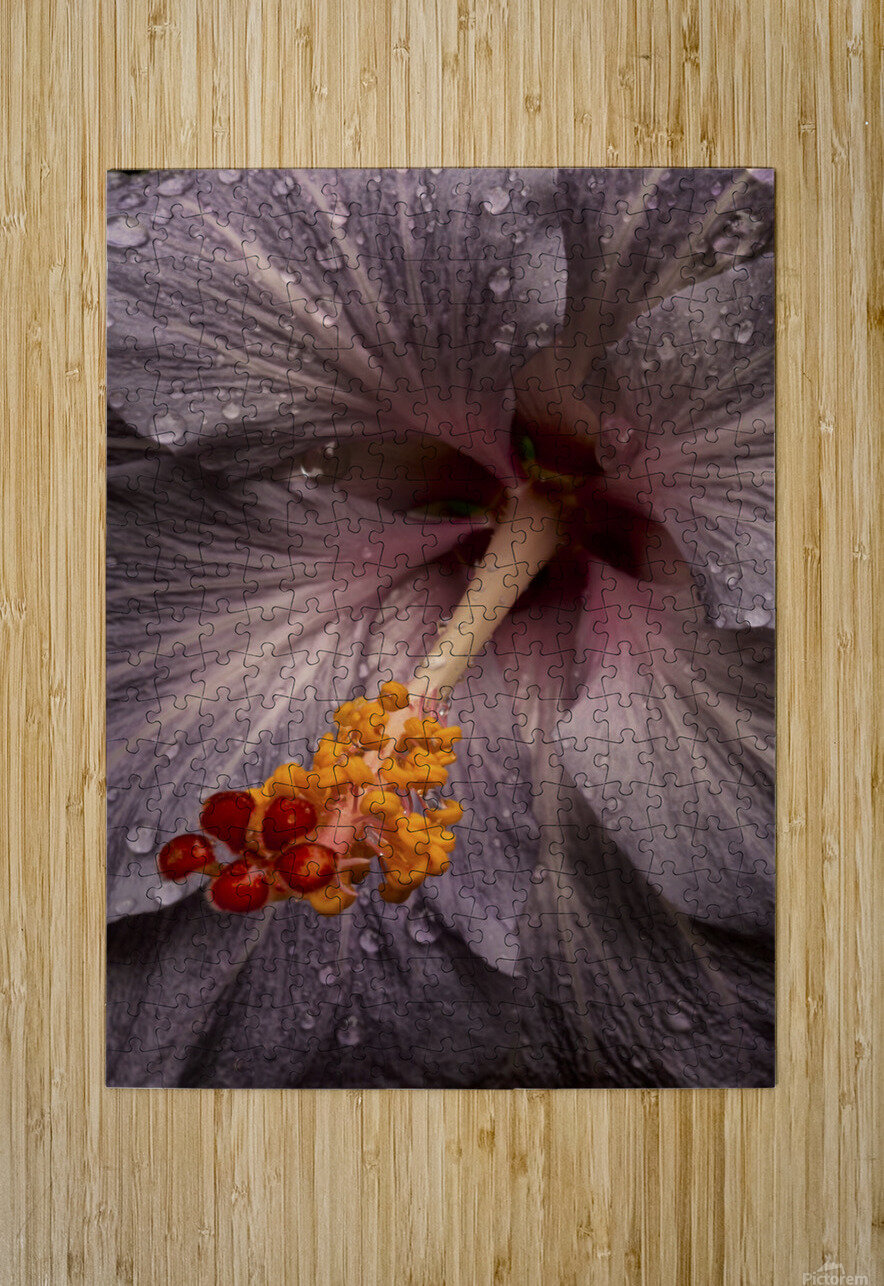 Close up of a Hibiscus flower with water droplets; Hawaii, United States of America  HD Metal print with Floating Frame on Back