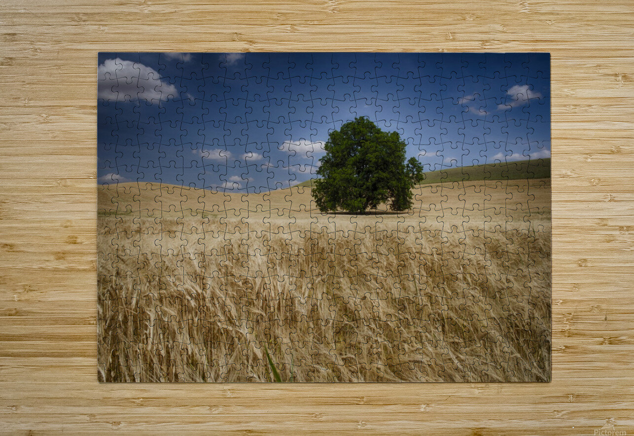 Lone tree in a wheat field; Palouse, Washington, United States of America  HD Metal print with Floating Frame on Back