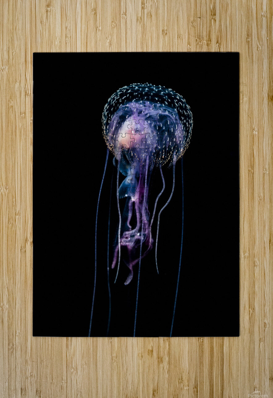 Jellyfish (Pelagia noctiluca) with fish prey photographed during a blackwater scuba dive several miles offshore of a Hawaiian Island at night; Hawaii, United States of America  HD Metal print with Floating Frame on Back