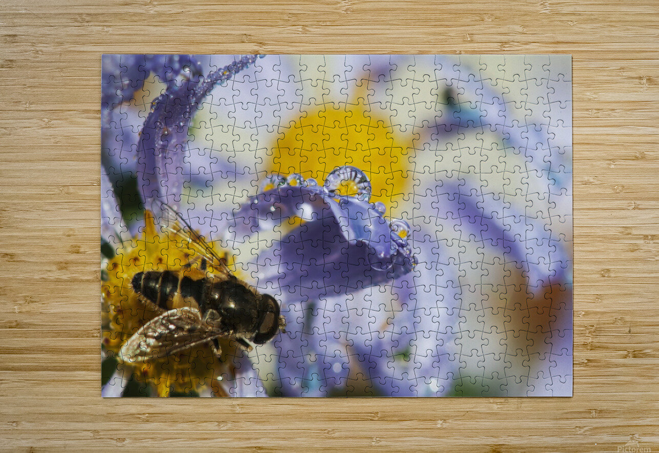 A Fly Rests On Aster Blossoms; Astoria, Oregon, United States Of America  HD Metal print with Floating Frame on Back
