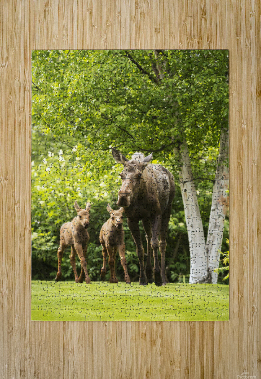 A cow moose (alces alces) with her calves on green grass with lush green foliage; Anchorage, Alaska, United States of America  HD Metal print with Floating Frame on Back