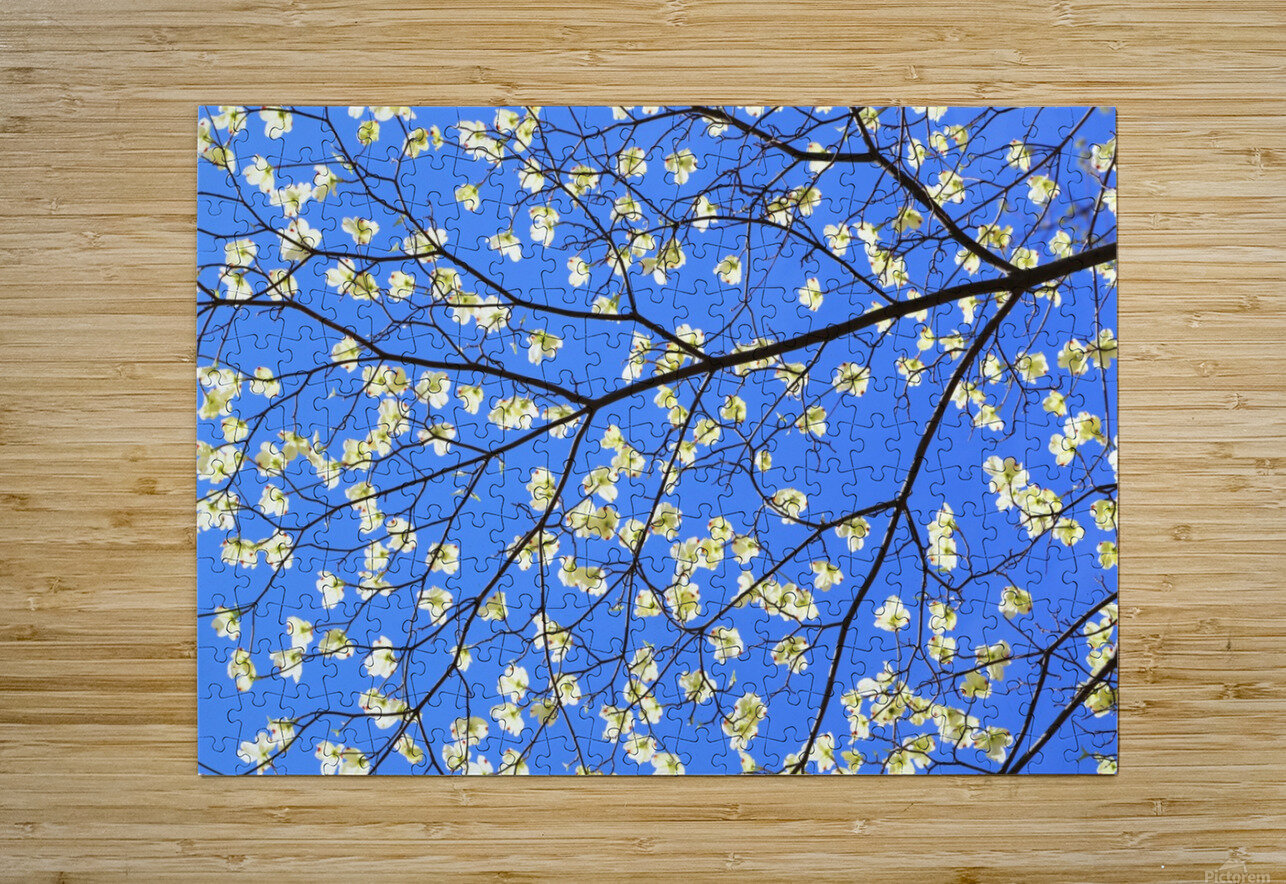 Blue Sky and Dogwood  HD Metal print with Floating Frame on Back