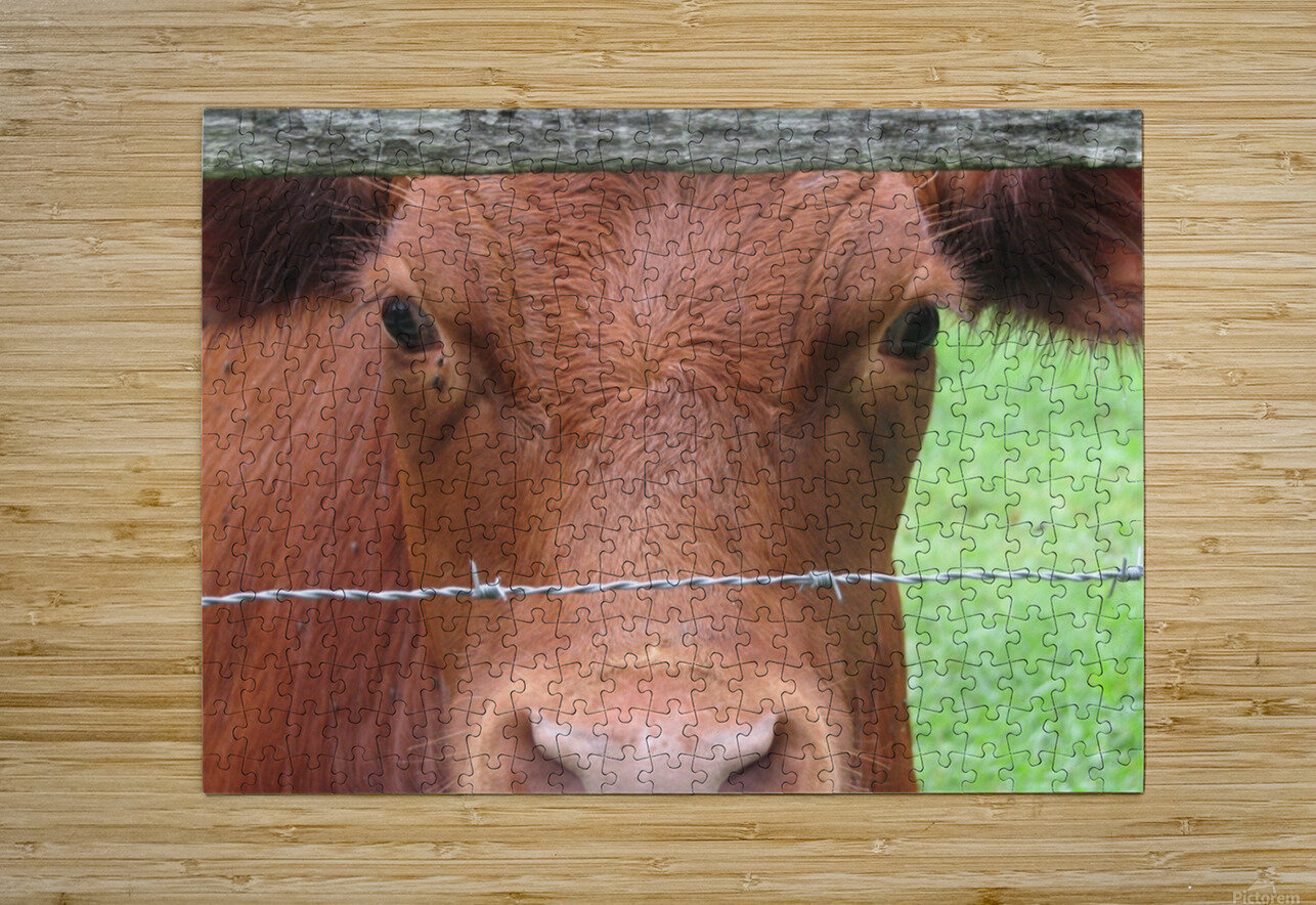Cow in Stevenson, MD VP 2  HD Metal print with Floating Frame on Back