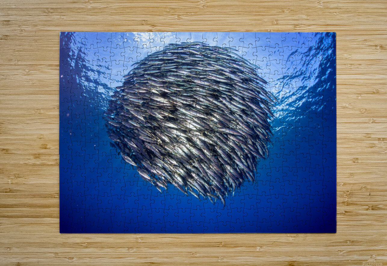 Bait ball 2  HD Metal print with Floating Frame on Back