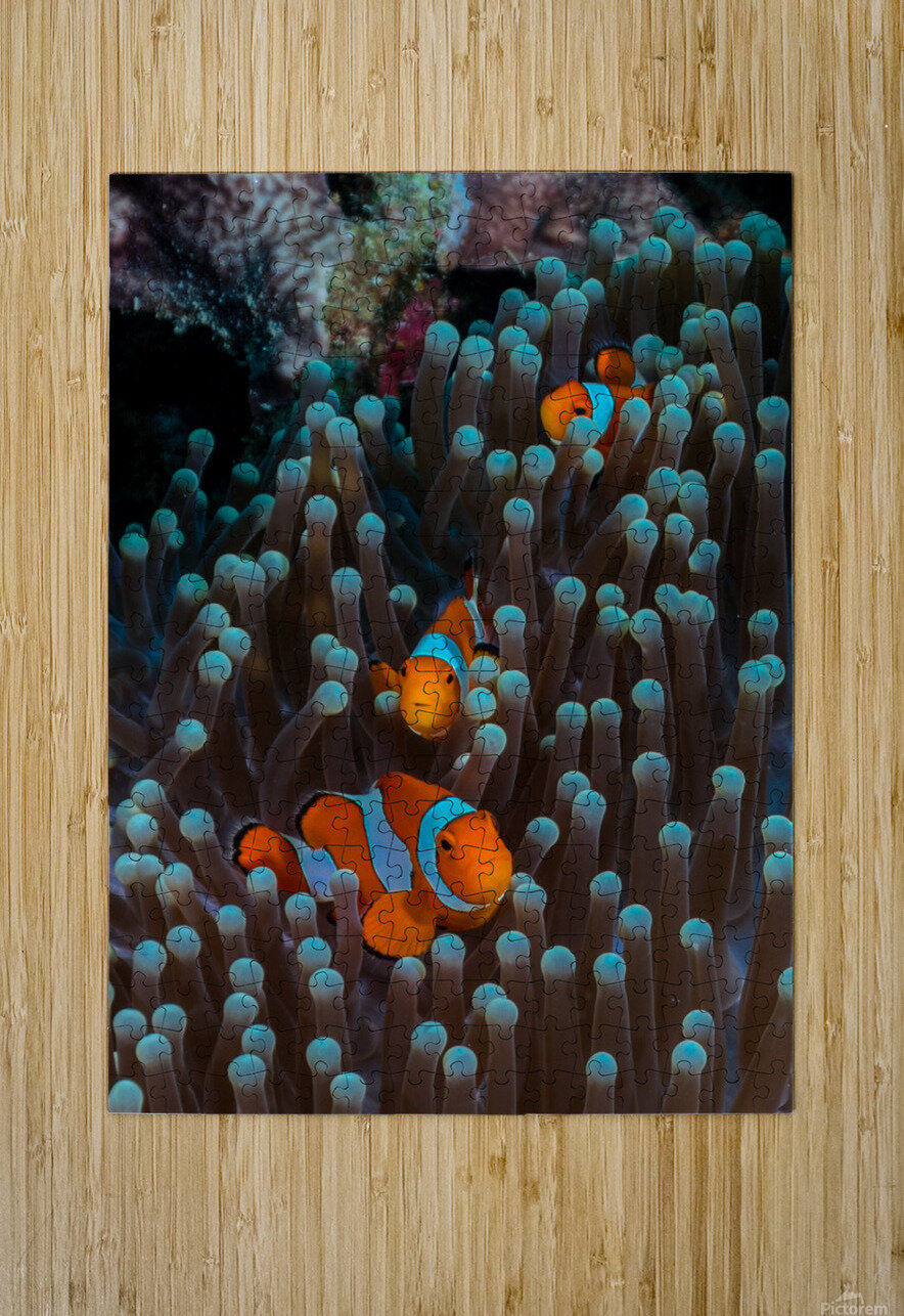 clown fish  HD Metal print with Floating Frame on Back