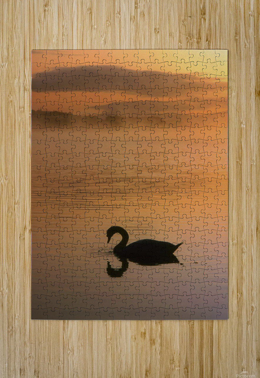 Lough Leane, Lakes Of Killarney, Co Kerry, Ireland; Silhouetted Swan  HD Metal print with Floating Frame on Back