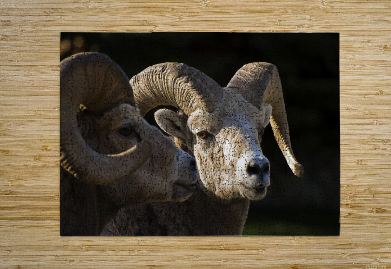 Bighorn Sheep, Waterton National Park, Alberta, Canada  HD Metal print with Floating Frame on Back