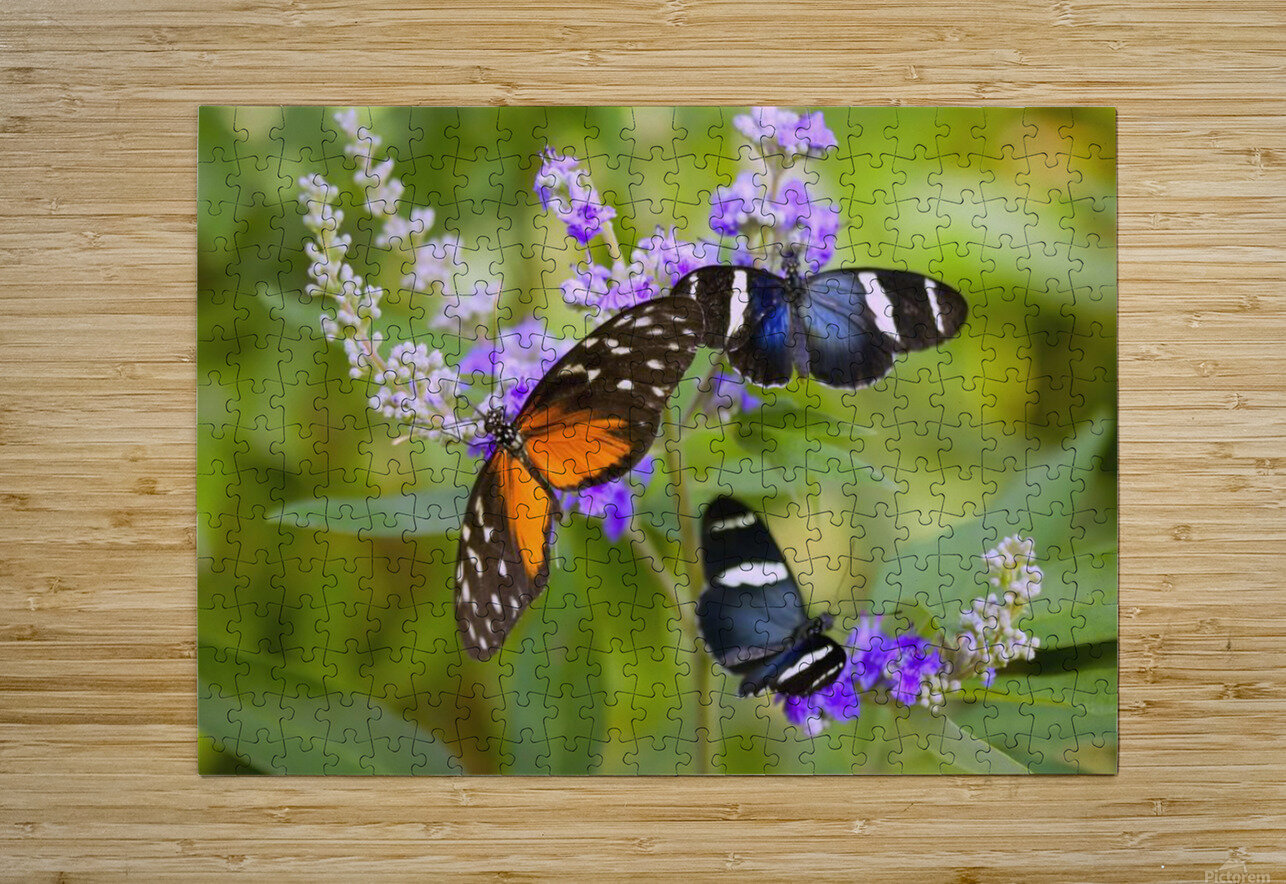 Three Colorful Butterflies On Blossoms In Spring; Oregon, Usa  HD Metal print with Floating Frame on Back