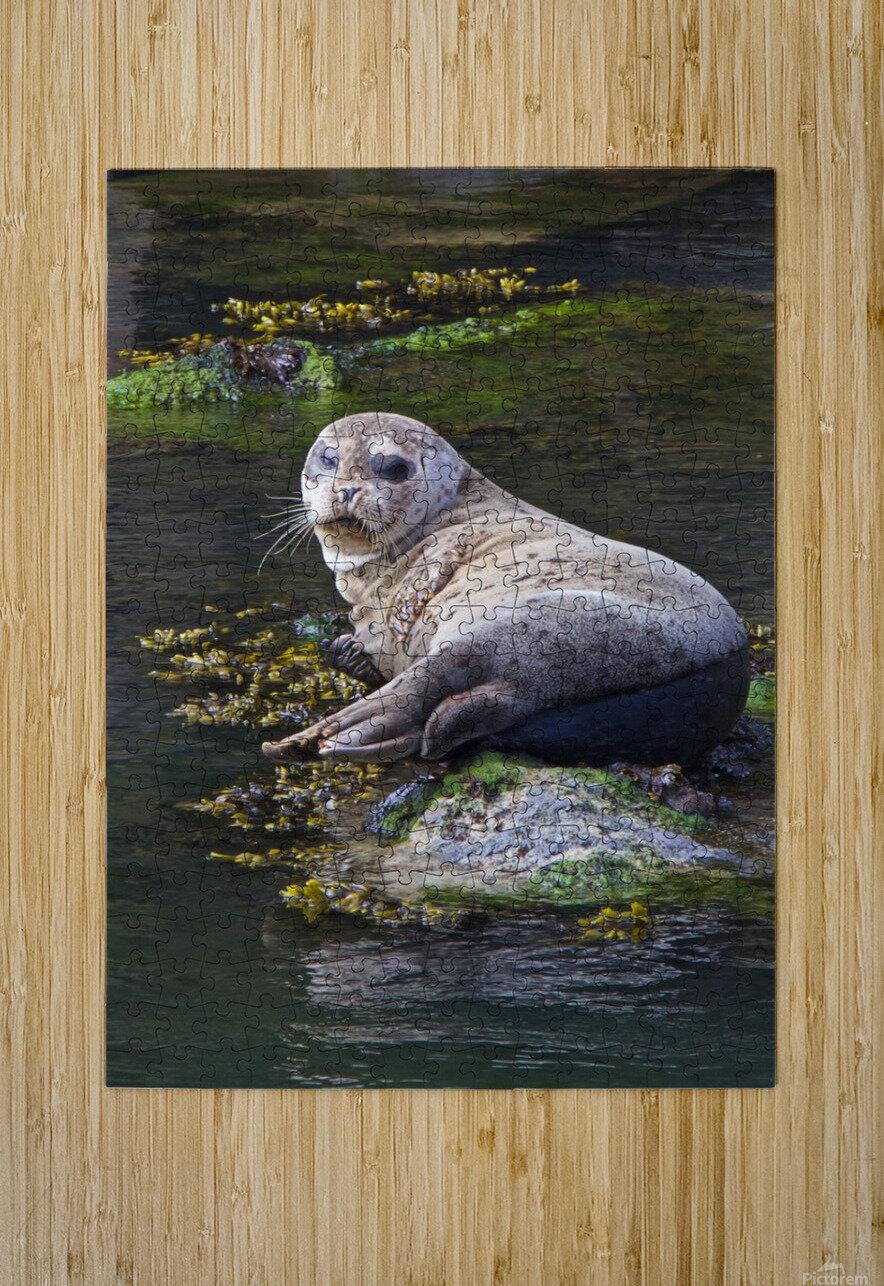 Sea lion portrait near Depoe Bay, OR  HD Metal print with Floating Frame on Back