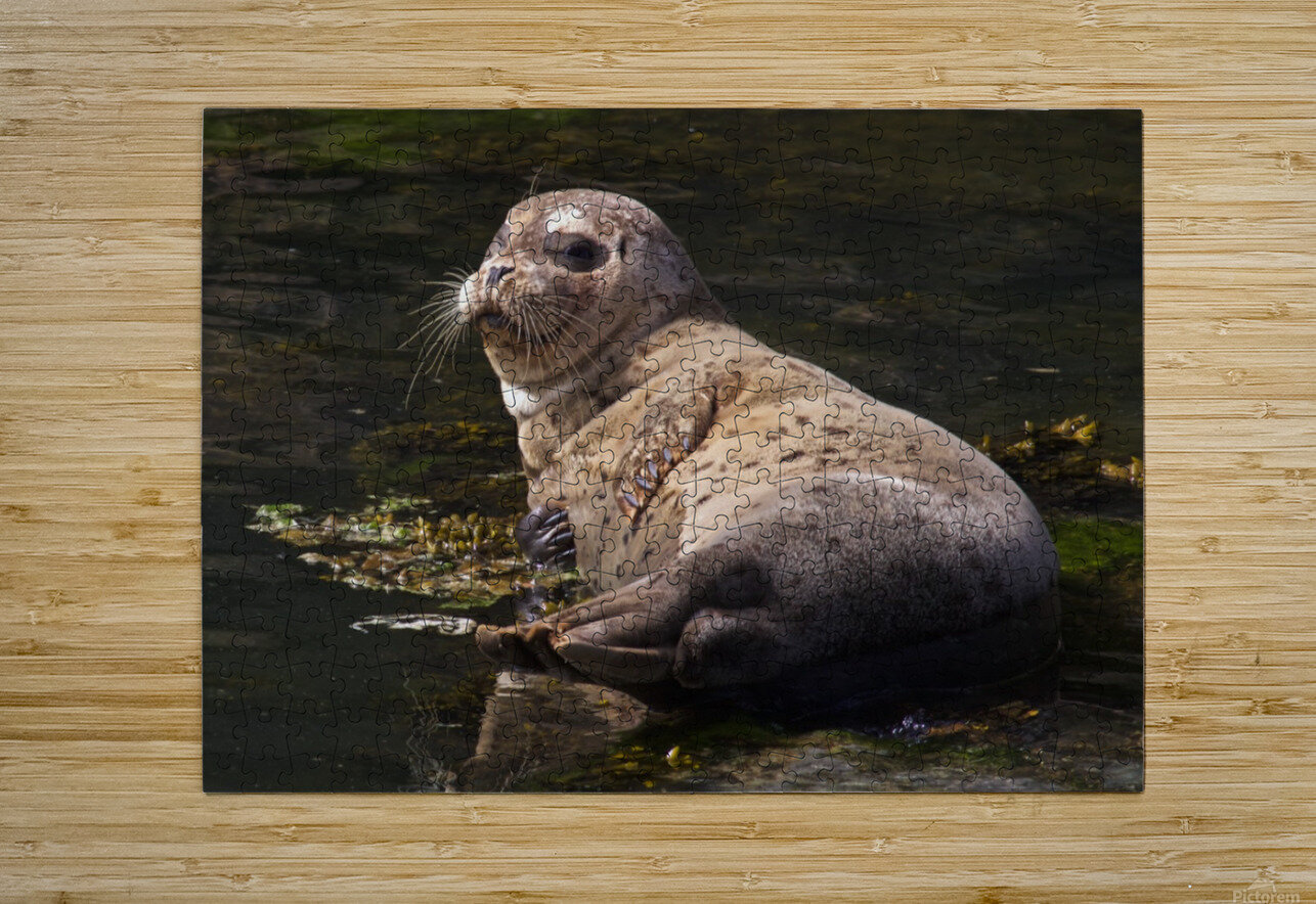 Sea lion posing  HD Metal print with Floating Frame on Back