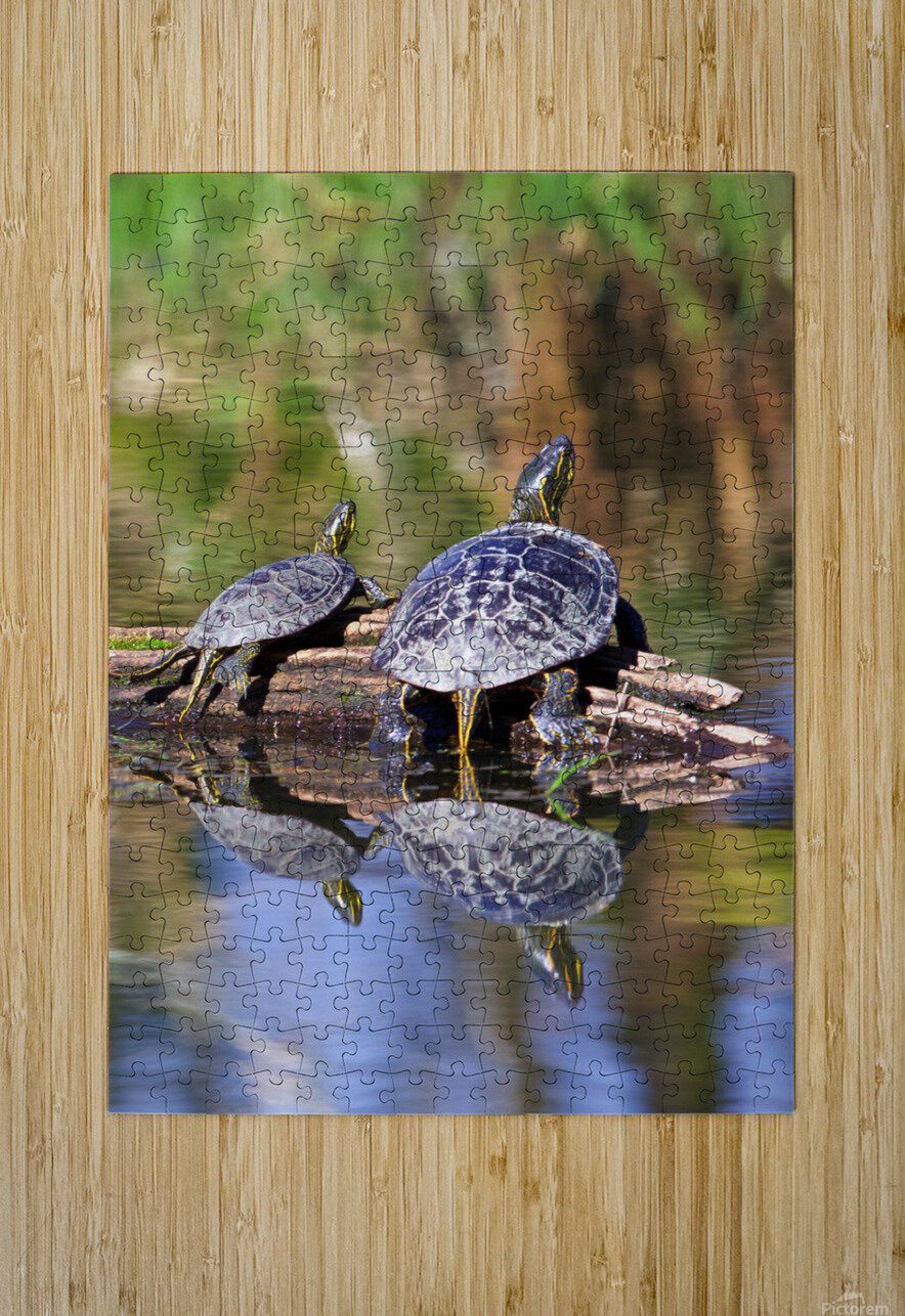 Turtle reflections portrait  HD Metal print with Floating Frame on Back