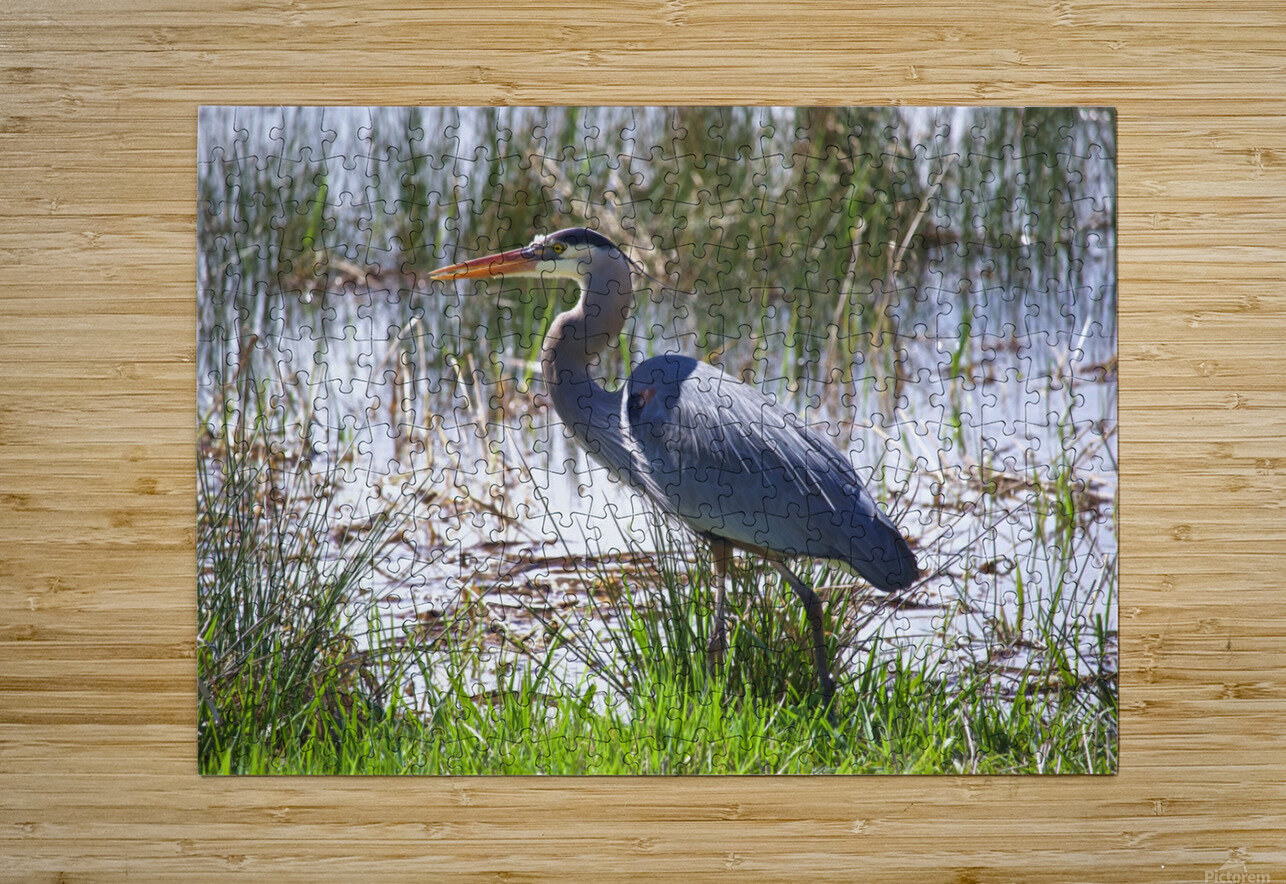 Great Blue Heron profile  HD Metal print with Floating Frame on Back