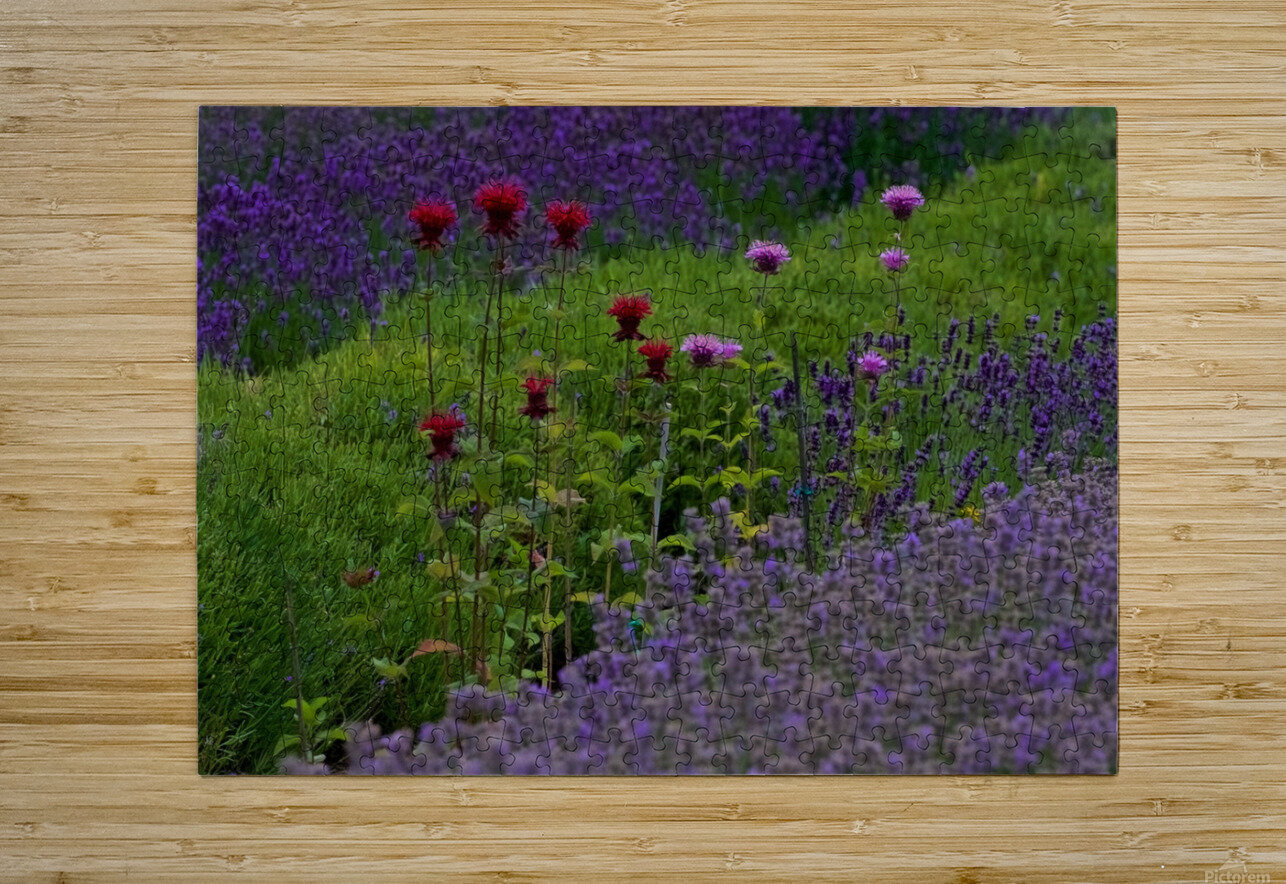 Bee Balm Blooming in Lavender Field  HD Metal print with Floating Frame on Back