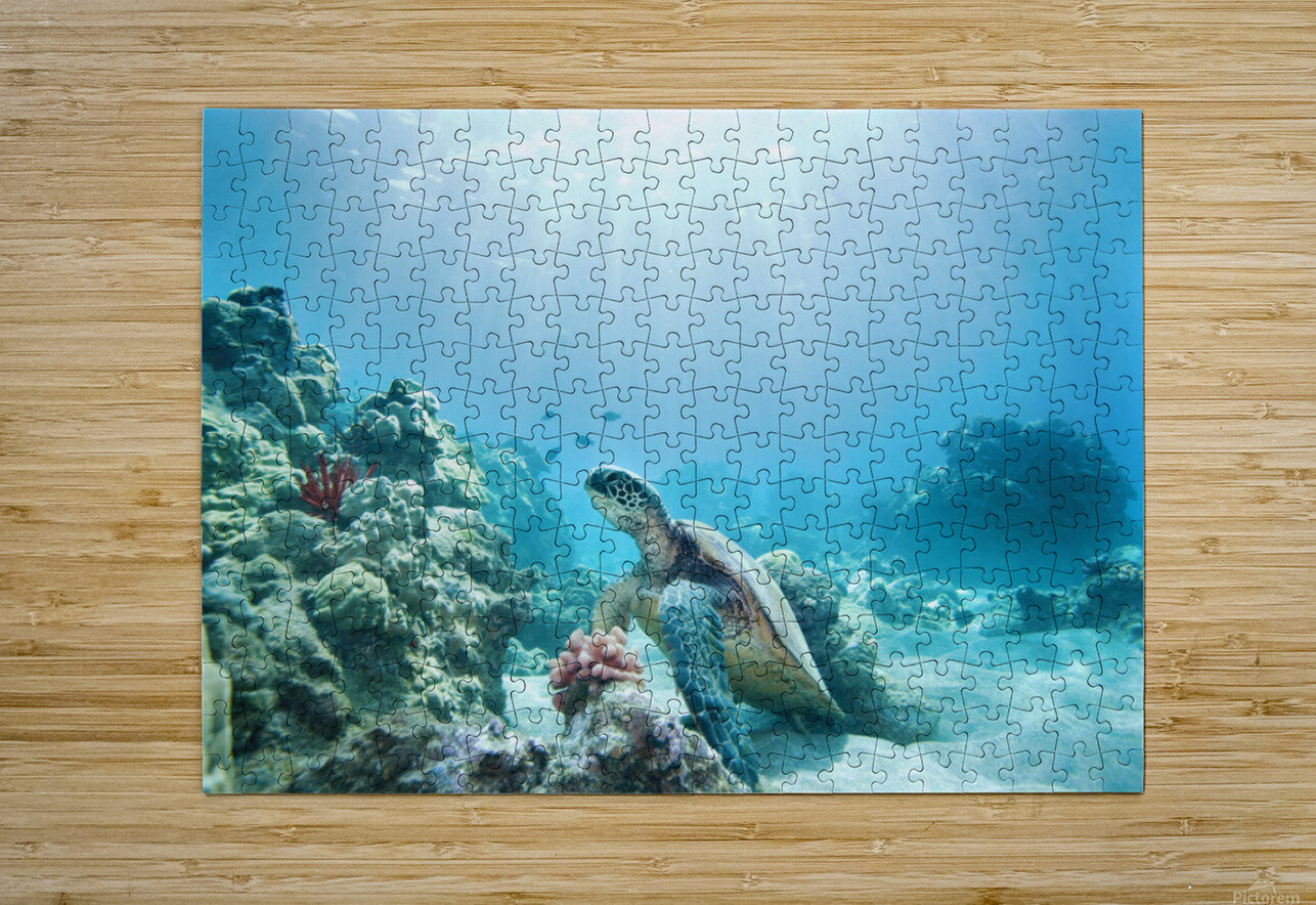 Hawaii, Green Sea Turtle (Chelonia Mydas) An Endangered Species.  HD Metal print with Floating Frame on Back