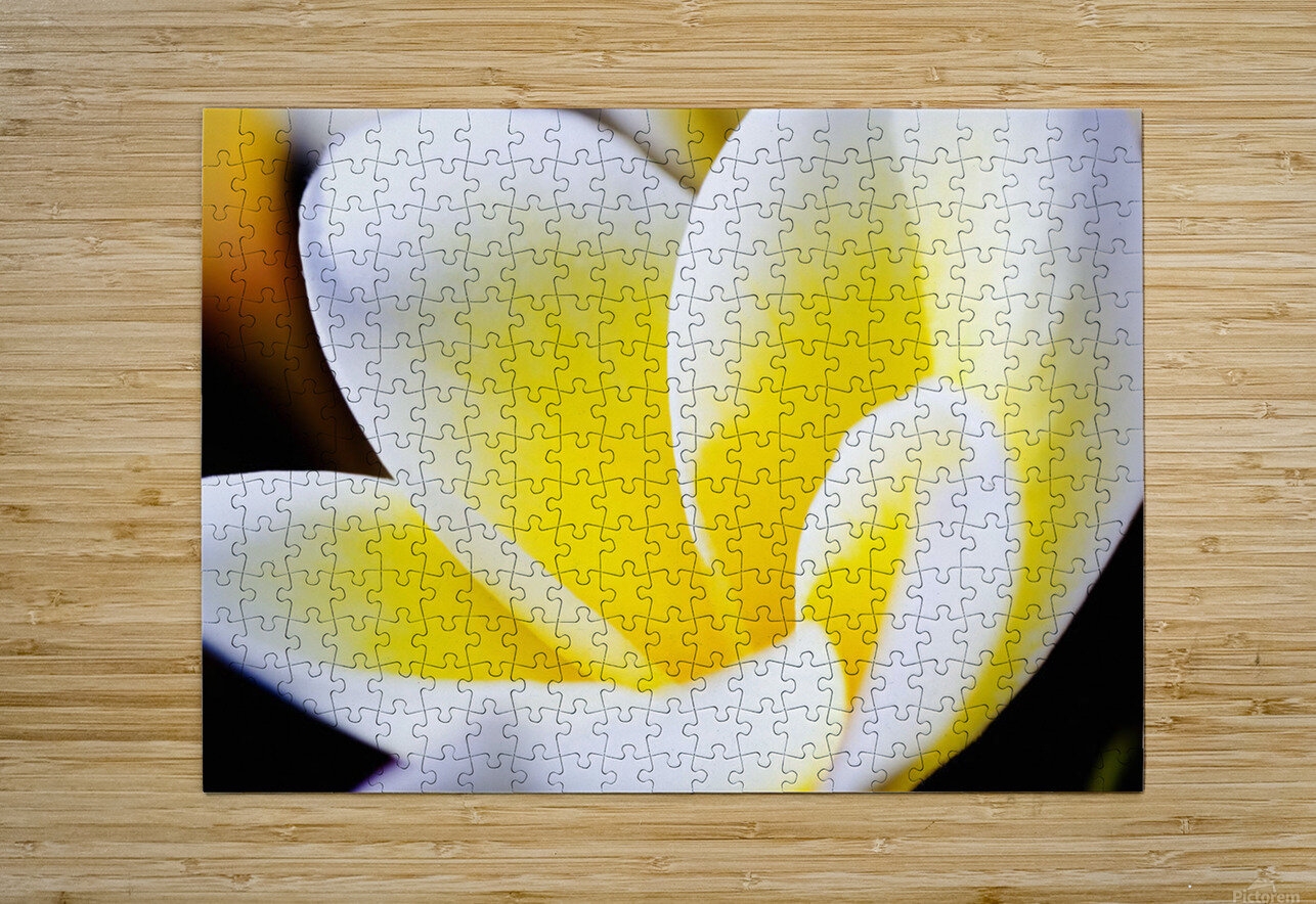 Thailand, Phuket, Kata Noi, Close Up Of Plumeria Flower.  HD Metal print with Floating Frame on Back