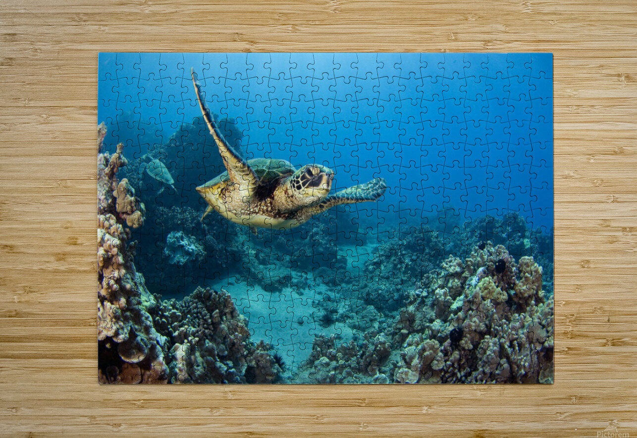 USA, Green Sea Turtle (Chelonia Mydas); Hawaii  HD Metal print with Floating Frame on Back