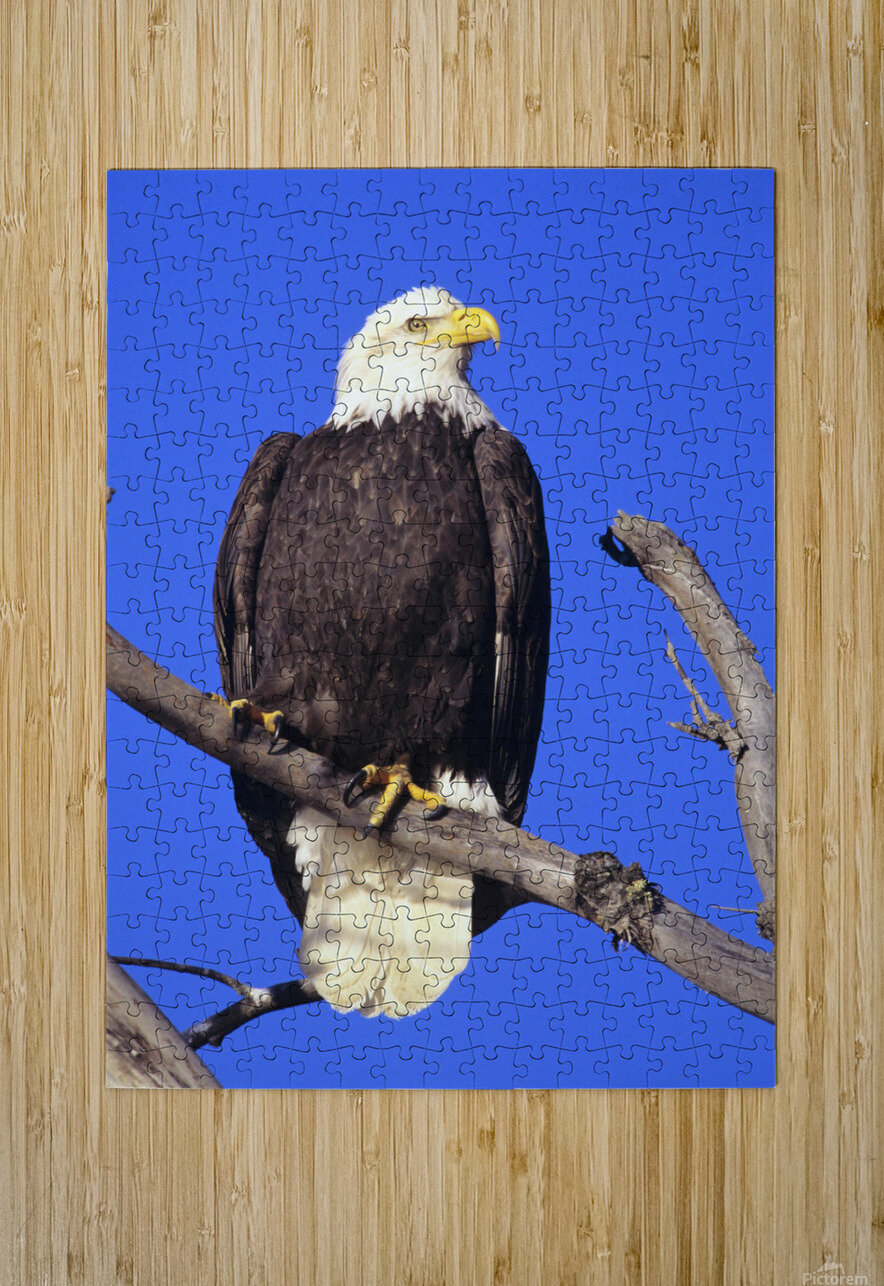 Alaska, Haines Bald Eagle Reserve, Bald Eagle (Haliaeetus Leucocephalus) Perched On A Branch.  HD Metal print with Floating Frame on Back