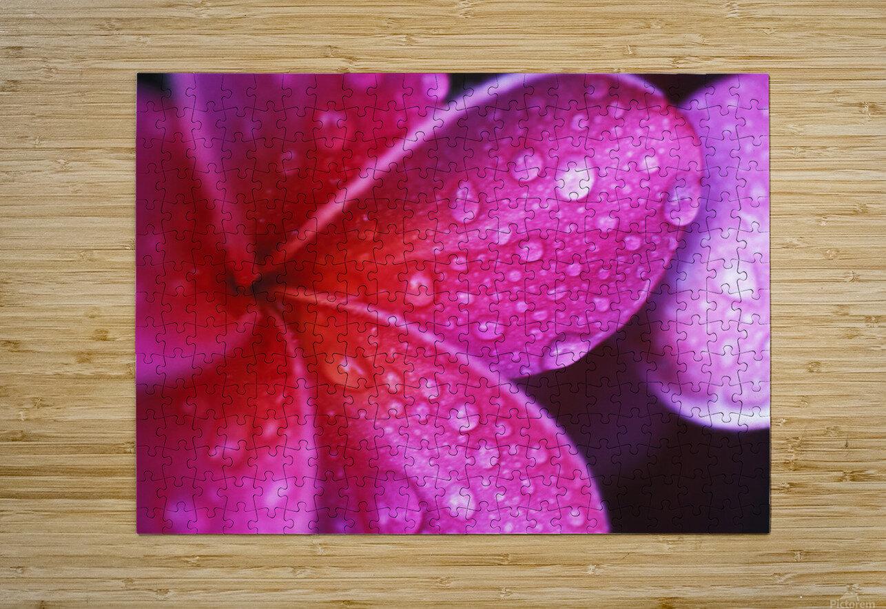 Hawaii, Maui, Extreme Close-Up Purple Pink Plumeria Blossom Water Droplets Aka Frangipani  HD Metal print with Floating Frame on Back