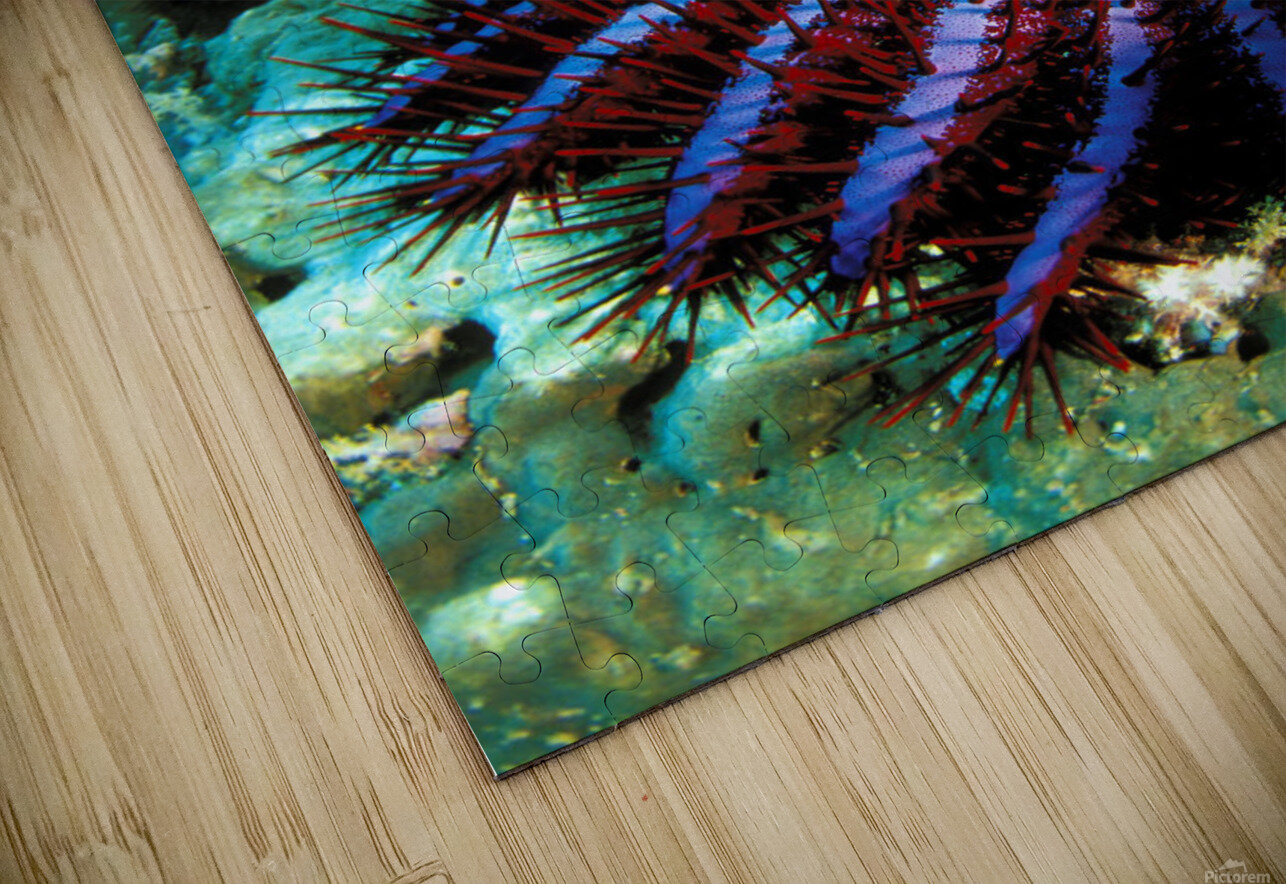 Thailand, Reef Scene With Crown-Of-Thorns Starfish (Acanthaster Planci). HD Sublimation Metal print