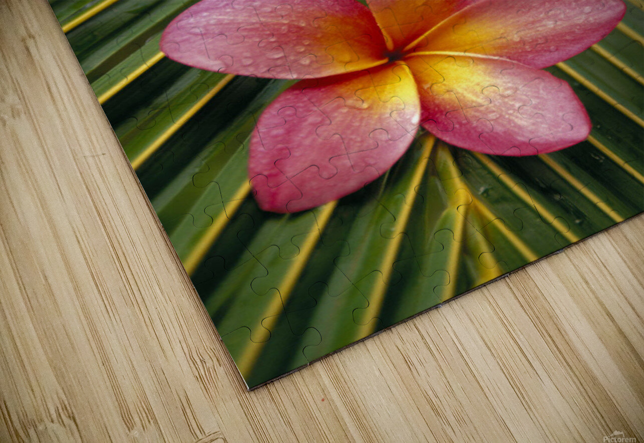 Close-Up Three Pink Plumeria Flowers On Coconut Palm Leaf Selective Focus HD Sublimation Metal print