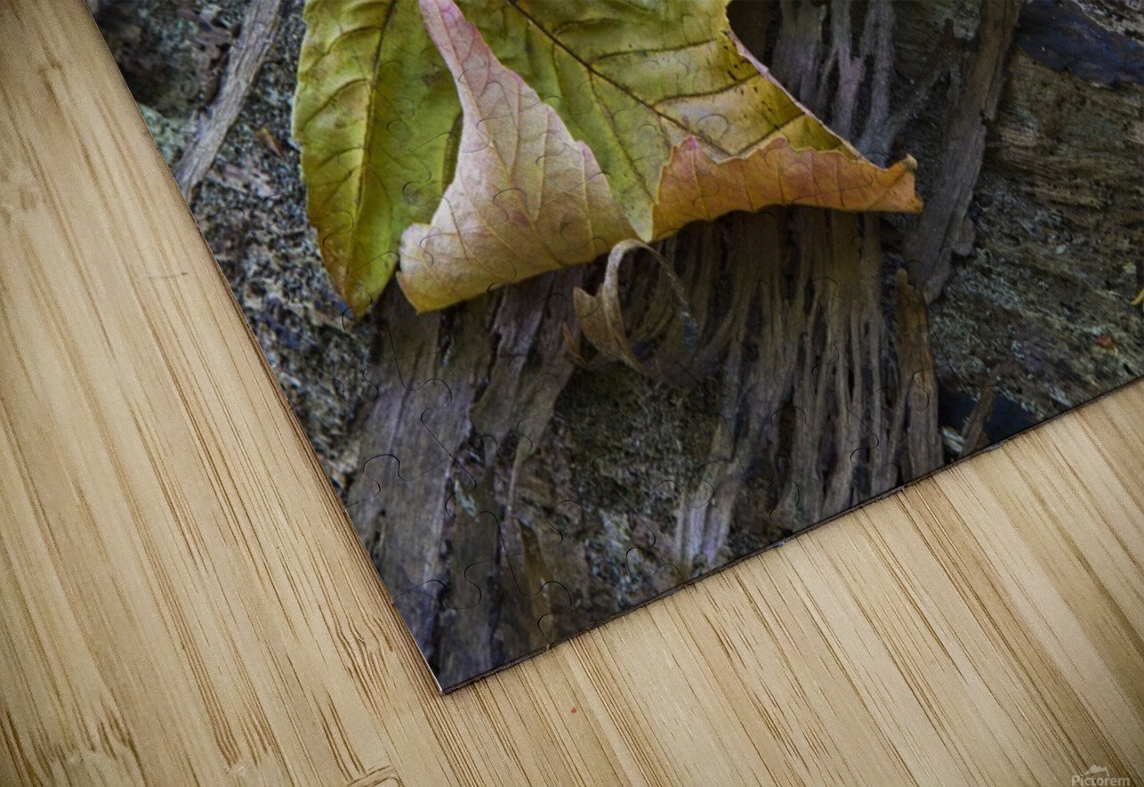 Maple leaves in autumn as they lay across a rotting log in a forest;British columbia canada HD Sublimation Metal print