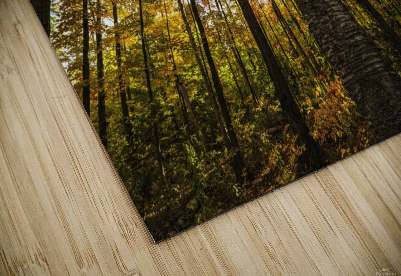 Looking up at the colourful canopy of leaves of Algonquin Park; Ontario, Canada HD Sublimation Metal print