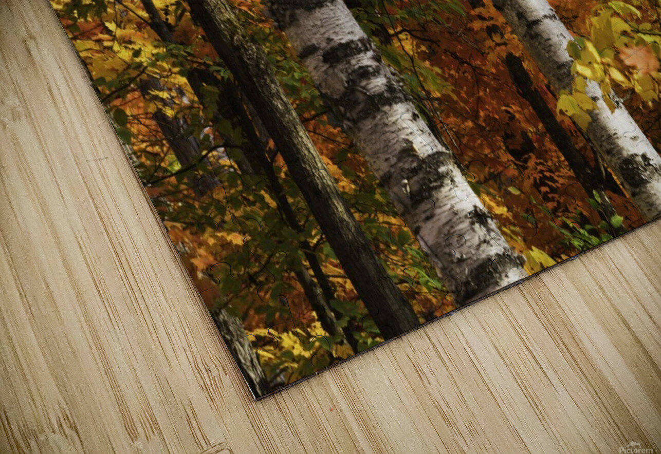 The colourful leaves and birch tree trunks in Algonquin Park; Ontario, Canada HD Sublimation Metal print