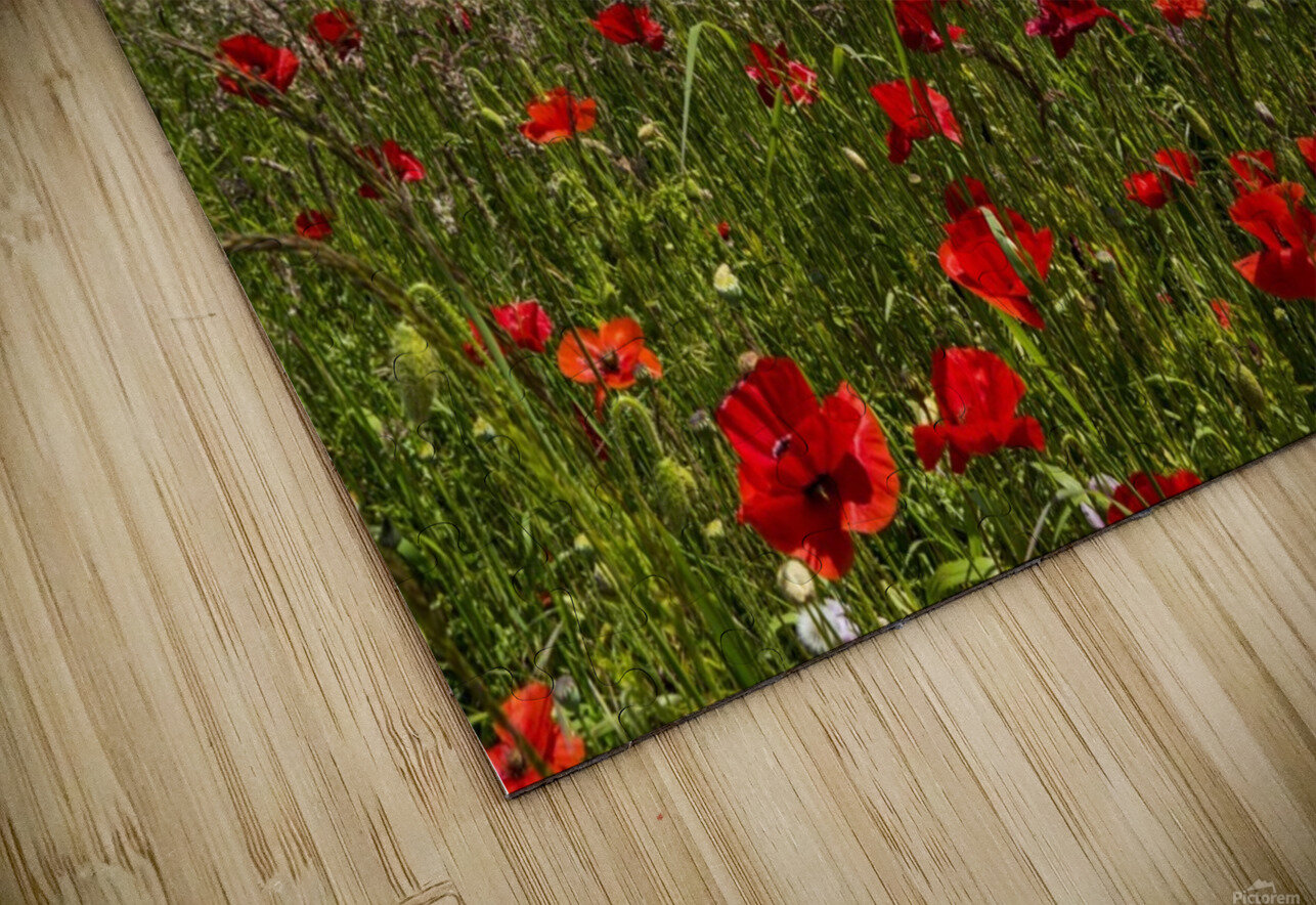 Souter Lighthouse with a field of red poppies in the foreground; South Shields, Tyne and Wear, England HD Sublimation Metal print