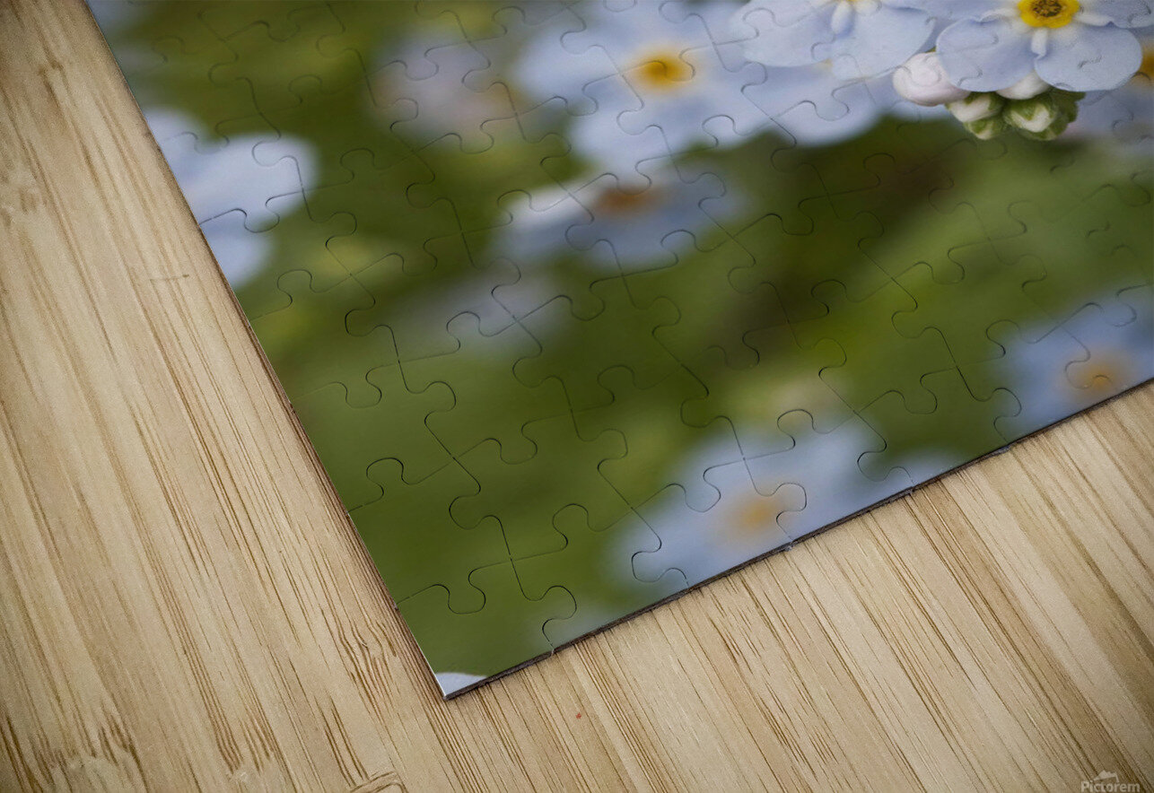 Close Up Of Forget Me Not, Alaska's State Flower, Girdwood, Southcentral Alaska, Summer HD Sublimation Metal print
